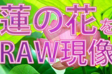 蓮の花をRAW現像(SILKYPIX)